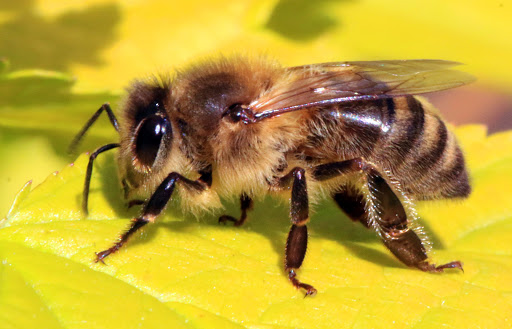 bee sting therapy
